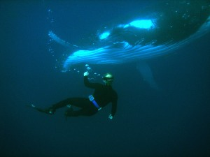 Tonga Humpback whale Warmus 2005 photo by William Warmus